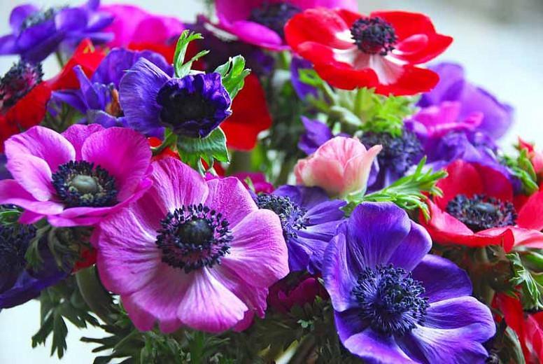25 Anemone De Caen Pink Sylphide Summer Flower Perennial Garden Bulbs Corms
