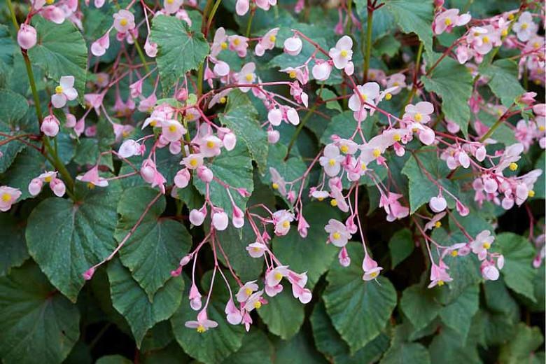 Begonia Grandis Hardy Begonia