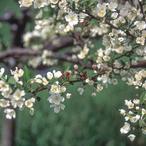 Malus sargentii 'Tina' , Sargent Crabapple 'Tina', Malus toringo subsp. sargentii 'Tina', Fragrant Shrub, Fragrant Tree, Red fruit, Red berries, Winter fruits, White flowers