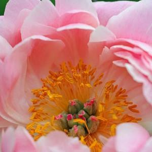 Paeonia 'Coral Supreme', Peony 'Coral Supreme', 'Coral Supreme' Peony, Coral Peonies, Coral Flowers