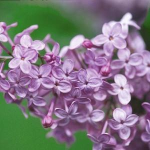 Syringa x hyacinthiflora 'Asessippi', Syringa 'Asessippi', Early Flowering Lilac 'Asessippi', Early Hybrid Lilac 'Asessippi', Lavender lilac, Fragrant Lilac, Lavender Flowers, Fragrant Shrub, Fragrant Tree