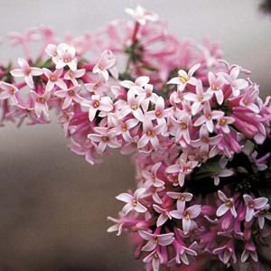 Syringa x prestoniae 'Miss Canada', Preston Lilac 'Miss Canada', Syringa 'Miss Canada', Pink lilac, Fragrant Lilac, Pink Flowers, Fragrant Shrub, Fragrant Tree