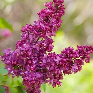 Syringa vulgaris 'Charles Joly',Syringa 'Charles Joly', Lilac 'Charles Joly', Purple lilac, Fragrant Lilac, Purple Flowers, Fragrant Shrub, Fragrant Tree
