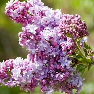 Syringa vulgaris 'President Grevy',Syringa 'President Grevy', Lilac 'President Grevy', blue lilac, Fragrant Lilac, blue Flowers, Fragrant Shrub, Fragrant Tree