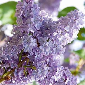 Syringa vulgaris 'President Lincoln',Syringa 'President Lincoln', Lilac 'President Lincoln', Blue lilac, Fragrant Lilac, Lavender Flowers, Fragrant Shrub, Fragrant Tree