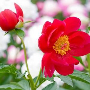 Paeonia 'Blaze', Peony 'Blaze', 'Blaze' Peony, Red Peonies, Red Flowers, Fragrant Peonies
