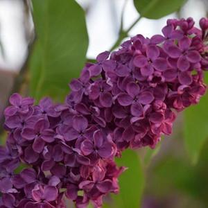 Syringa vulgaris 'Andenken an Ludwig Spath',Syringa 'Andenken an Ludwig Spath', Lilac 'Andenken an Ludwig Spath', Purple lilac, Fragrant Lilac, Purple Flowers, Fragrant Shrub, Fragrant Tree