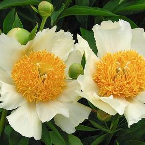 Paeonia 'Claire de Lune', Peony 'Claire de Lune', 'Claire de Lune' Peony, Chinese Peony 'Claire de Lune', Common Garden Peony 'Claire de Lune', White Peonies, White flowers, Hybrid Peony