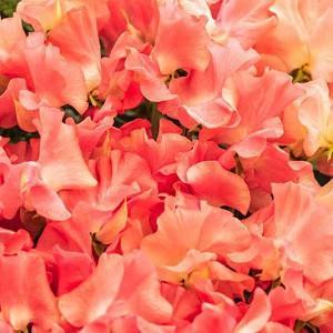 Lathyrus Odoratus 'Leominster Boy',Sweet Pea 'Leominster Boy', Fragrant Flowers, Apricot Flowers, Orange Flowers, Annuals, Annual plant, Cut flowers, deer resistant flowers