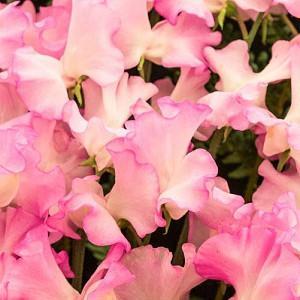 Lathyrus Odoratus 'Gwendoline',Sweet Pea 'Gwendoline', Fragrant Flowers, Pink Flowers, White Flowers, Annuals, Annual plant, Cut flowers, deer resistant flowers