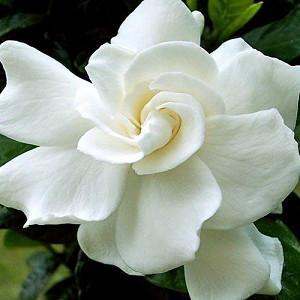 Gardenia jasminoides August Beauty, Cape Jasmine 'August Beauty', August Beauty Cape Jasmine, Cape Jessamine 'August Beauty', Fragrant flowers, evergreen shrub, White flowers, Fragrant flowers, evergreen shrub, White flowers