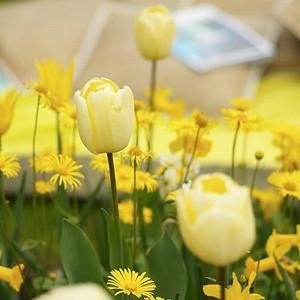 Tulipa Ivory Floradale, Tulip 'Ivory Floradale', Darwin Hybrid Tulip 'Ivory Floradale', Darwin Hybrid Tulips, Spring Bulbs, Spring Flowers, Tulipe Ivory Floradale,Darwin tulip, Tulipe Darwin