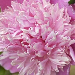 Paeonia Lactiflora 'Monsieur Jules Elie', Peony 'Monsieur Jules Elie', 'Monsieur Jules Elie' Peony, Chinese Peony 'Monsieur Jules Elie' , Common Garden Peony 'Monsieur Jules Elie', Pink Peonies, Pink Flowers, Pink Peonies, Fragrant Peonies