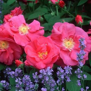 Rosa Gallica var. Officinalis, Old Red Damask Rose, Apothecary's Rose, Official Rose, Provence Rose, Red Rose of Lancaster, Crimson Damask Rose, Shrub Roses, Shrub roses, pink roses,
