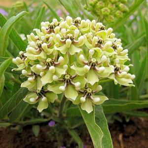 Asclepias asperula, Antelope-Horns Milkweed, Spider Milkweed Milkweed, Green-Flowered Milkweed, Spider Antelope-Horns, Green flowers