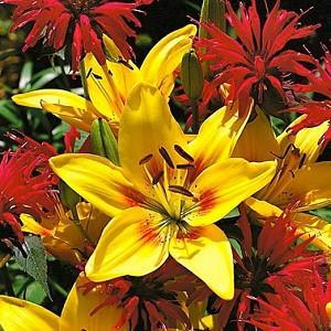 Lilium 'Grand Cru',  Lily 'Grand Cru', Asiatic Hybrid Lily 'Grand Cru', Summer flowering Bulb, early summer flowering lilies, yellow lilies, bicolor lilies, Award lilies