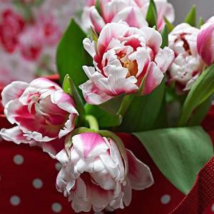 Tulipa Wirosa, Tulip 'Wirosa', Double Late Tulip 'Wirosa', Double Late Tulips, Spring Bulbs, Spring Flowers, Tulipe Wirosa, Double Late Tulip, Late Season Tulip, Late Spring Tulip, Purple Double late Tulip