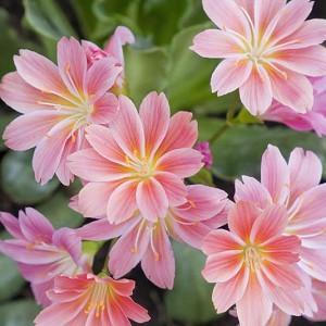 Lewisia cotyledon, Siskiyou Lewisia, Cliff Maids, hardy succulent, evergreen perennial, Alpine wildflower