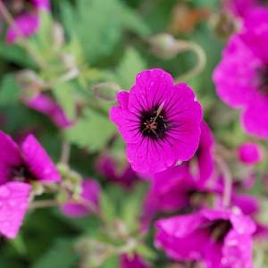 Geranium 'Ann Folkard', Hardy Geranium Ann Folkard, Cranesbill 'Ann Folkard', Best geraniums, Best Border Geranium, purple geranium, violet geranium