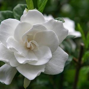 Gardenia jasminoides Miami Supreme, Cape Jasmine 'Miami Supreme', Miami Supreme Cape Jasmine, Cape Jessamine 'Miami Supreme', Fragrant flowers, evergreen shrub, White flowers, Fragrant flowers, evergreen shrub, White flowers