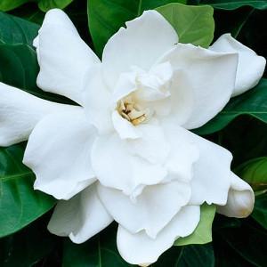 Gardenia jasminoides Fortuniana, Cape Jasmine 'Fortuniana', Fortuniana Cape Jasmine, Cape Jessamine 'Fortuniana', Fragrant flowers, evergreen shrub, White flowers, Fragrant flowers, evergreen shrub, White flowers