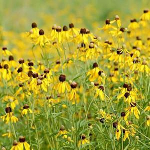 Ratibida Pinnata, Yellow Coneflower, Pinnate Prairie Coneflower, Gray-Head Coneflower, Prairie Coneflower, Coneflower, Coneflowers, Yellow flowers, Yellow Perennials, Grayhead Coneflower, Gray-Headed Coneflower, Grayhead Mexican Hat