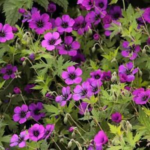 Geranium 'Anne Thomson', Hardy Geranium Anne Thomson, Cranesbill 'Anne Thomson', Best geraniums, Best Border Geranium, purple geranium, violet geranium