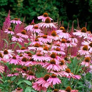 Echinacea Purpurea 'Magnus', Coneflower 'Magnus', Echinacea 'Magnus', Purple Coneflower, Purple Echinacea, Echinacea Purpurea