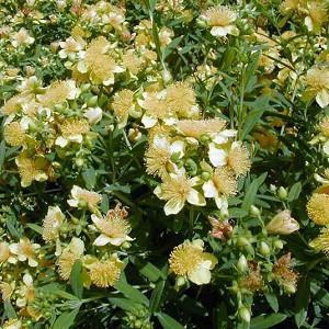 Hypericum Kalmianum, Kalm St. John's Wort, Evergreen Shrub, yellow flowers, Hypericum, St John's Wort