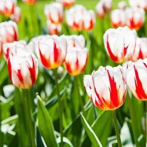 Tulipa 'Happy Generation', Tulip 'Happy Generation', Triumph Tulip 'Happy Generation', Triumph Tulips, Spring Bulbs, Spring Flowers, White Tulips, Bicolor Tulip