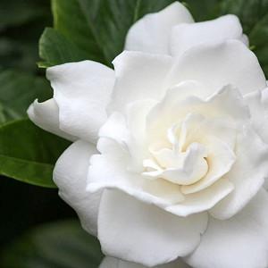 Gardenia jasminoides Belmont, Cape Jasmine 'Belmont', Belmont Cape Jasmine, Cape Jessamine 'Belmont', Fragrant flowers, evergreen shrub, White flowers,