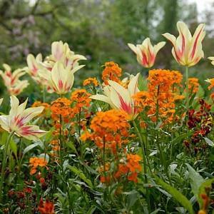 Tulipa Mona Lisa, Tulip 'Mona Lisa', Lily-Flowered Tulip 'Mona Lisa', Lily-Flowering Tulip 'Mona Lisa', Lily-Flowered Tulips, Spring Bulbs, Spring Flowers, Tulipe Mona Lisa,Lily Flowered Tulip,Yellow tulip, Red Tulip, Bicolored Tulip