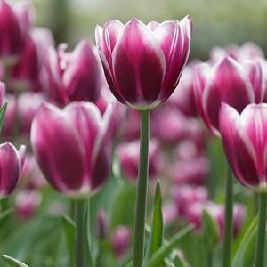 Tulip 'Synaeda Blue', Triumph Tulip Synaeda Blue', Triumph Tulips, Spring Bulbs, Spring Flowers, Tulipa 'Synaeda Blue, Purple Tulips, Bicolor Tulip, Tulipes Triomphe, Mid spring tulips