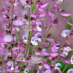 Salvia Sclarea, Clary Sage,Europe Sage,Biennial Clary, Muscatel Sage
