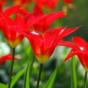 Tulipa Dyanito, Tulip 'Dyanito', Lily-Flowered Tulip 'Dyanito', Lily-Flowering Tulip 'Dyanito', Lily-Flowered Tulips, Spring Bulbs, Spring Flowers, Tulipe Dyanito,Lily Flowered Tulip, Red tulip, late season tulip, late spring tulip,mid season tulip, mid s