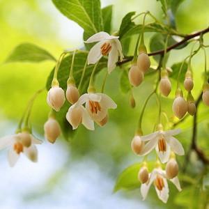 Fragrant Flowering Trees For Mid Atlantic Gardens