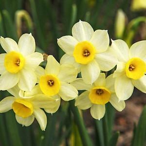 Narcissus Minnow, Daffodil Minnow, Tazetta Daffodil 'Minnow', Spring Bulbs, Spring Flowers, Tazetta daffodils, Miniature daffodils, Daffodils for indoor forcing,Narcissus, fragrant daffodil