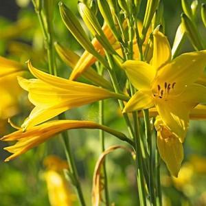 Hemerocallis Lilioasphodelus, Lemon Lily, Yellow Daylily, Custard Lily, Hemerocallis flava, Hemerocallis 'Lilioasphodelus', Hemerocallidaceae, perennial, plant