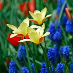 Tulip Clusiana var Chrysantha, Tulip Clusiana Tubergen's Gem,Tulipa Clusiana Tubergen's Gem, Tulipe Clusiana Tubergen's Gem,Golden Lady Tulip, Lady Tulip, Candlestick Tulip, Tulipa Chrysantha, Tulipa stellata var. Chrysantha, Botanical Tulips, Tulip Speci
