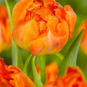 Tulipa 'Orca', Tulip 'Orca', Double Early Tulip 'Orca', Double Early Tulips, Spring Bulbs, Spring Flowers, Orange Tulip, Tulip Bulbs, Tulips, Tulip, Tulip Popular