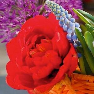 Tulipa Miranda, Tulip 'Miranda', Double Late Tulip 'Miranda', Double Late Tulips, Spring Bulbs, Spring Flowers, Tulipe Miranda, Red Tulips, Late spring tulips, Tulipes Doubles Tardives