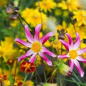 Dahlia Honka, 'Honka Surprise' Dahlia, Orchid Dahlias, Star Dahlias, Miscellaneous Dahlias, Pink Dahlia Flowers, Dahlia Tubers, Dahlia Bulbs, Dahlia Flower, Dahlia Flowers, summer bulbs