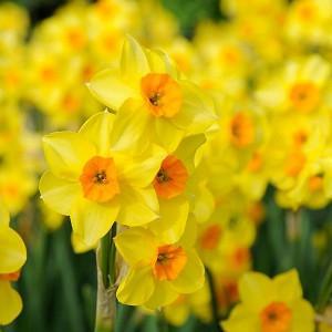 Narcissus 'Falconet', Daffodil 'Falconet', Tazetta Daffodil 'Falconet', Spring Bulbs, Spring Flowers, mid spring bulb, late spring bulb, mid season narcissus, late season narcissus, fragrant daffodil