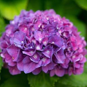 Hydrangea Macrophylla 'Merritt's Supreme', Bigleaf Hydrangea 'Merritt's Supreme', Mophead Hydrangea 'Merritt's Supreme', Hortensia 'Merritt's Supreme'