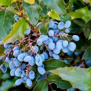 Oregon Grape Holly, Oregon Grape, Hollyleaved Barberry, Tall Oregon Grape, Hollyleaf Barberry