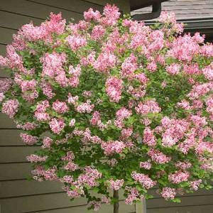 Syringa Tinkerbelle, Lilac 'Tinkerbelle', Syringa 'Bailbelle', Pink Lilac, Purple lilac