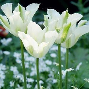 Tulipa 'Spring Green' , Tulip 'Spring Green', Viridiflora Tulip 'Spring Green', Viridiflora Tulips, Spring Bulbs, Spring Flowers, White tulips, late spring tulip, late season tulip