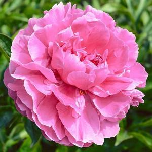 Paeonia Lactiflora Dr. Alexander Fleming, Peony Dr. Alexander Fleming, Dr. Alexander Fleming Peony, Pink Flowers, Pink Peonies, Fragrant Peonies