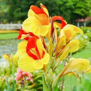 Canna 'Cleopatra', Indian Shot 'Cleopatra', Canna Lily 'Cleopatra', Canna 'Yellow Humbert', Canna 'Spanish Emblem', Canna Lily bulbs, Canna lilies, Yellow Canna Lilies, Red Canna Lilies, Bicolor Canna Lilies