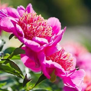 Paeonia Lactiflora 'Neon', Peony 'Neon', 'Neon' Peony, Chinese Peony 'Neon' , Common Garden Peony 'Neon', Red Peonies, Red Flowers, Fragrant Peonies, Pink Peonies, Pink Flowers